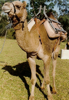 CAMEL PACK SADDLE