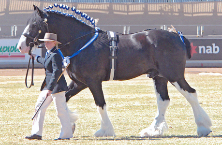 english style stallion roller
